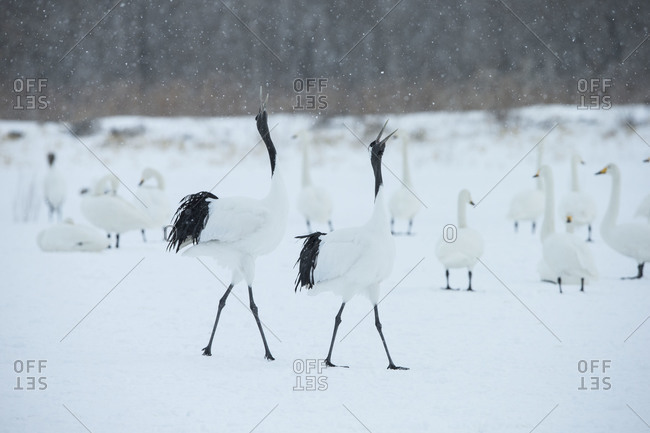 Pair of red-crowned cranes at a snowy field