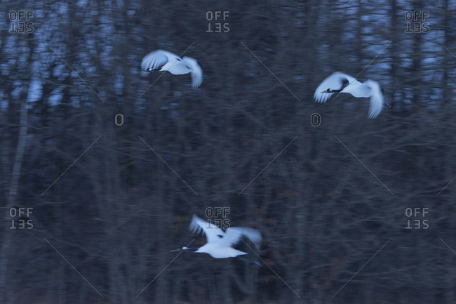 Three red-crowned cranes in flight