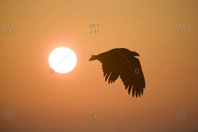 Silhouette of an eagle in flight at sunset