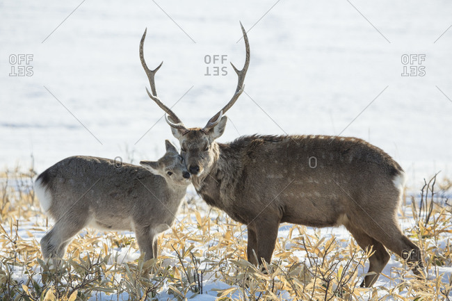 Male sika deer and a fawn