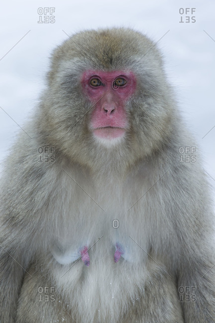 Portrait of a female Japanese macaque