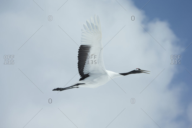 Red-crowned crane in flight