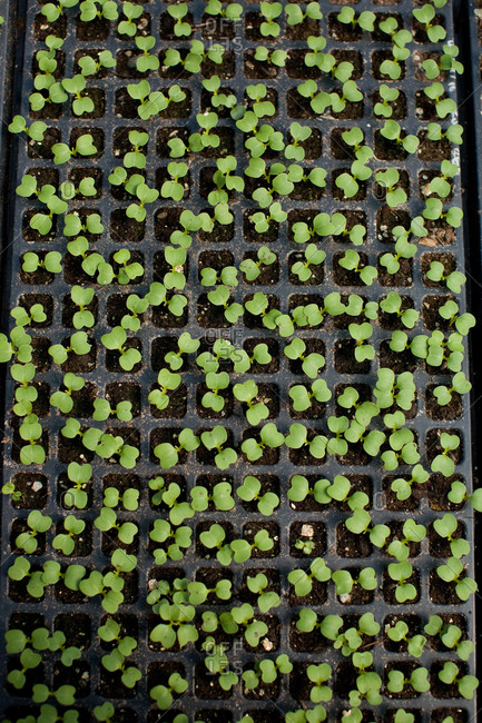 Small plugs of plants growing in seed trays
