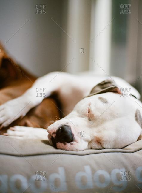 Dogo Argentino sleeping on dog bed