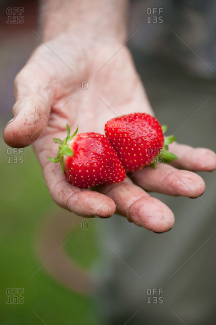 Hand of a man holding ripe strawberries