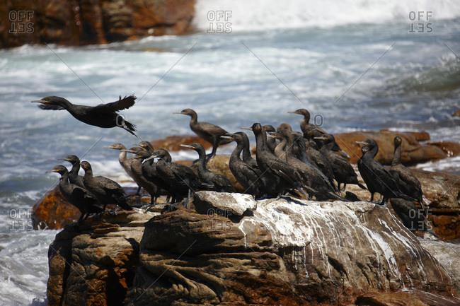 Cape cormorants sitting on rock
