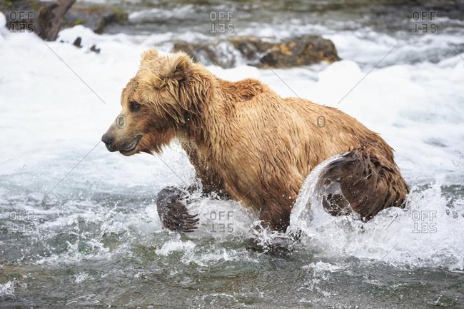 Brown bear (Ursus arctos) at Brooks Falls, foraging