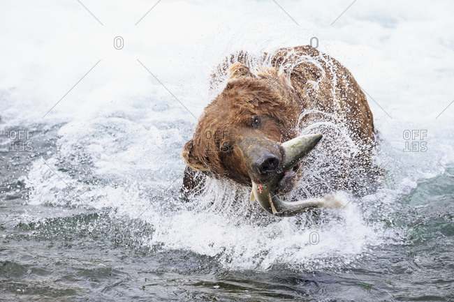 Brown bear (Ursus arctos) at Brooks Falls with caught salmon