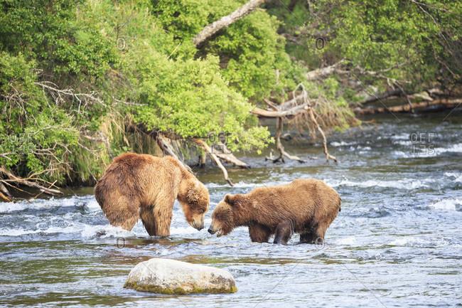 Brown bears (Ursus arctos) at Brooks Falls, fighting during foraging