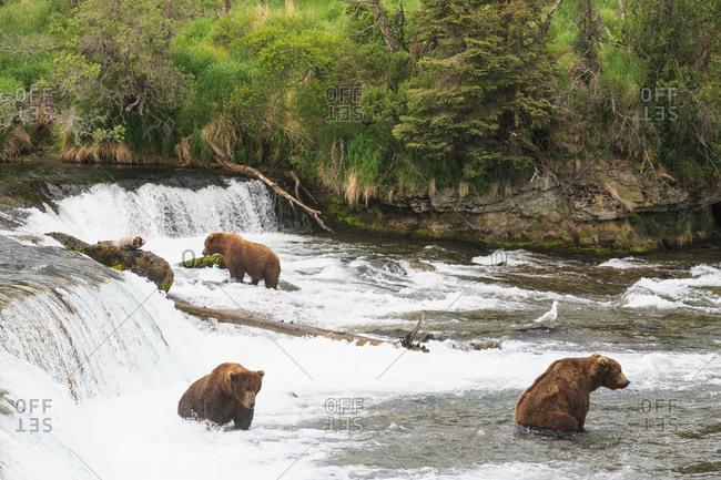 Brown bears (Ursus arctos) at Brooks Falls, foraging