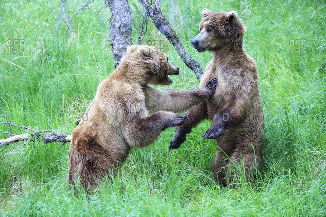Playing Brown bears (Ursus arctos), young animals