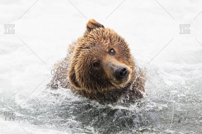 Brown bear (Ursus arctos) at Brooks Falls and shaking head