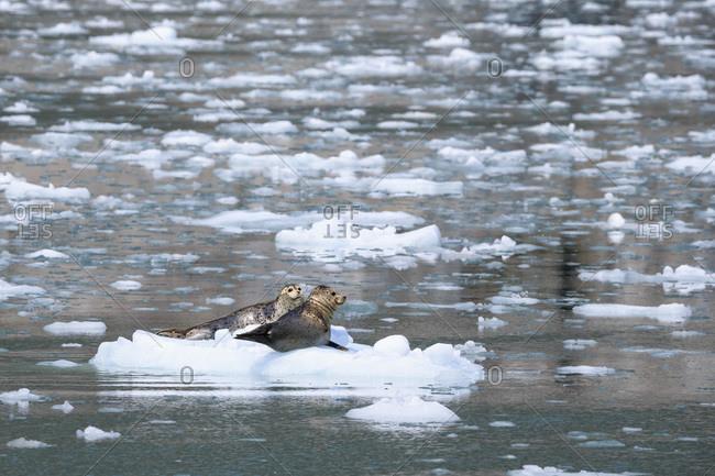 Two harbor seals (Phoca vitulina) lying on an ice floe