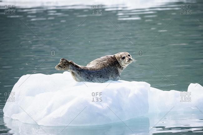 Harbor seal (Phoca vitulina) lying on an ice floe