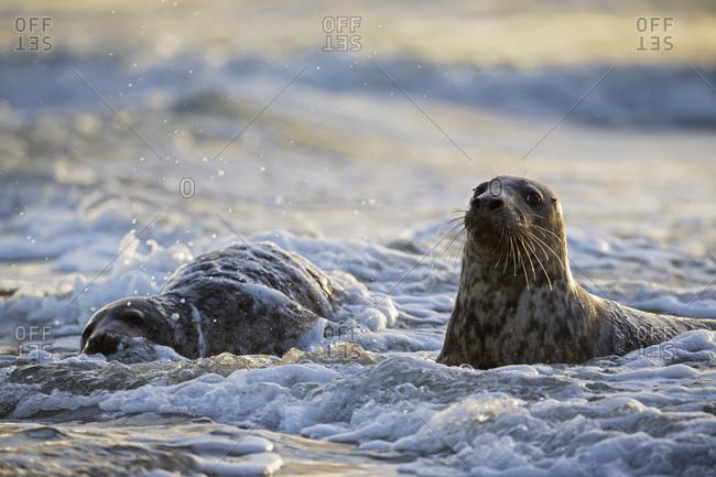 Grey Seals (Halichoerus grypus) playing
