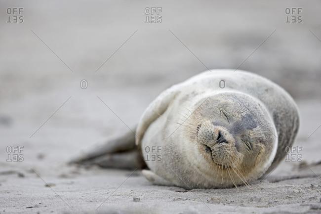 Harbor seal pup (Phoca vitulina) sleeping on the beach