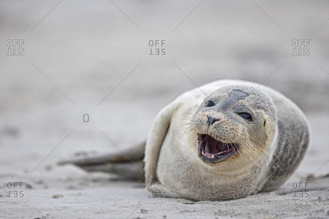 Harbor seal pup (Phoca vitulina) lying on the beach