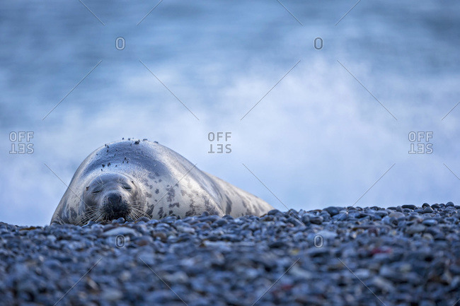 Grey seal (Halichoerus grypus) sleeping at beach
