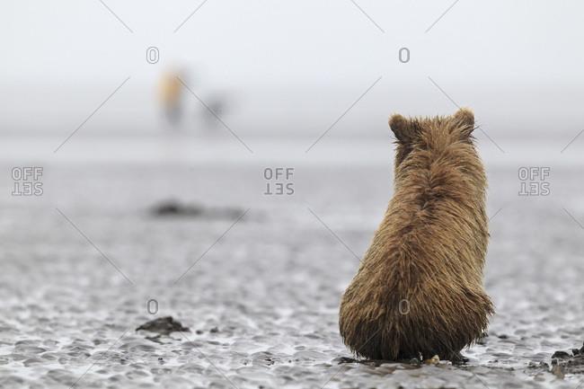 Brown bear cub (Ursus arctos)