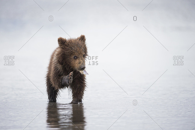 Brown bear cub (Ursus arctos) eating a mussel