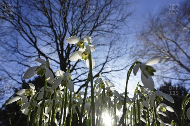 Snowdrops (Galanthus), close-up
