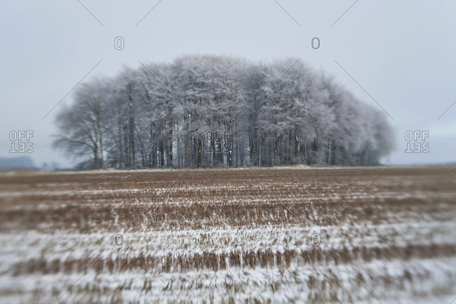 Copse of trees in snow and frost, Gloucestershire, UK