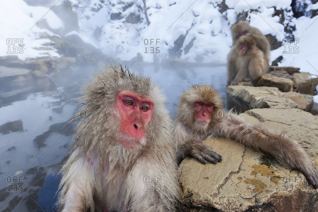 Japanese macaque bathing at Joshin-etsu National Park, Honshu, Japan