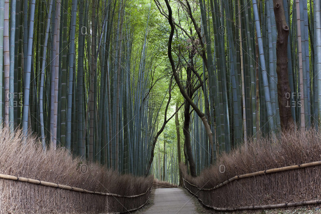 Path through a bamboo forest in Kyoto, Japan