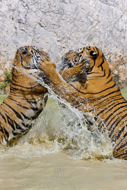 Indochinese tigers playing in water, Thailand