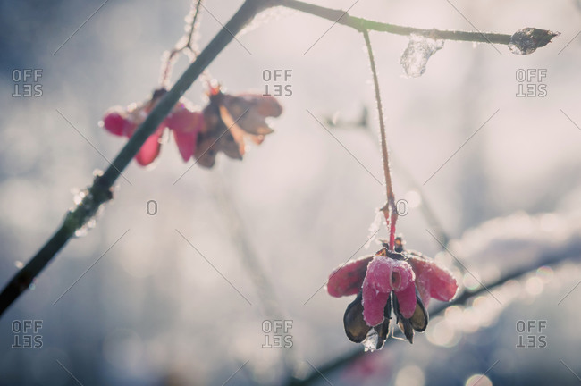 Detail of spindle tree (European Evonymus) in winter