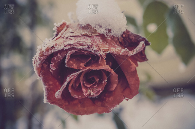 Snow covered blossom of red rose, close-up