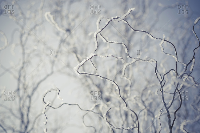 Snow covered twigs, close-up