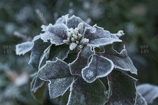 Frozen plant, close-up