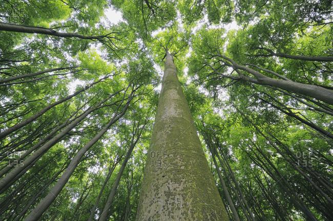 Beech trees (Fagus), view from below