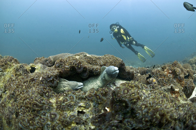 Diver and white-eyed moray (Gymnothorax thrysoideus) in front