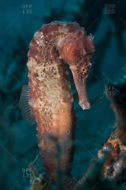 Seahorse (hippocampus hudsonius) - Offset Collection
