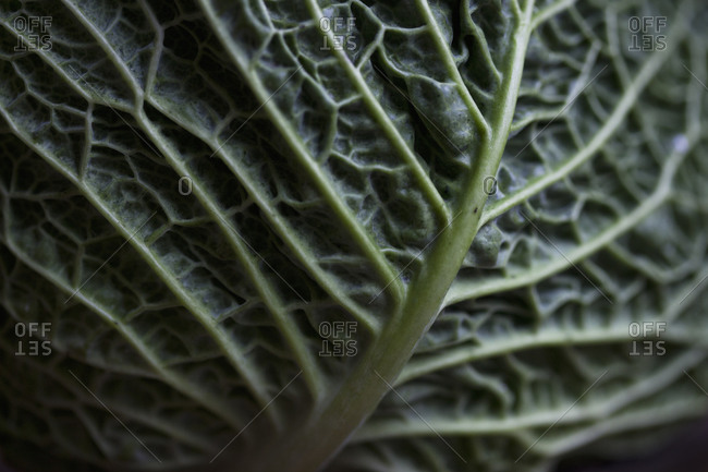 Close up of a savoy cabbage leaf