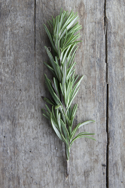 Close up of a single rosemary twig