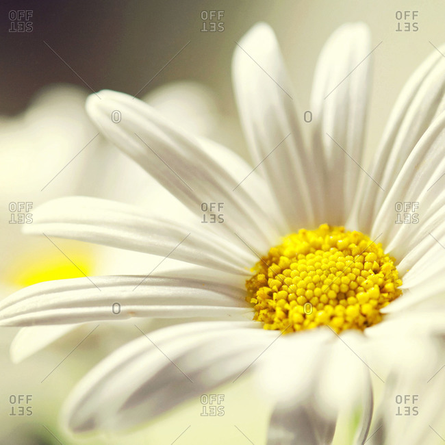 Marco of a white daisy