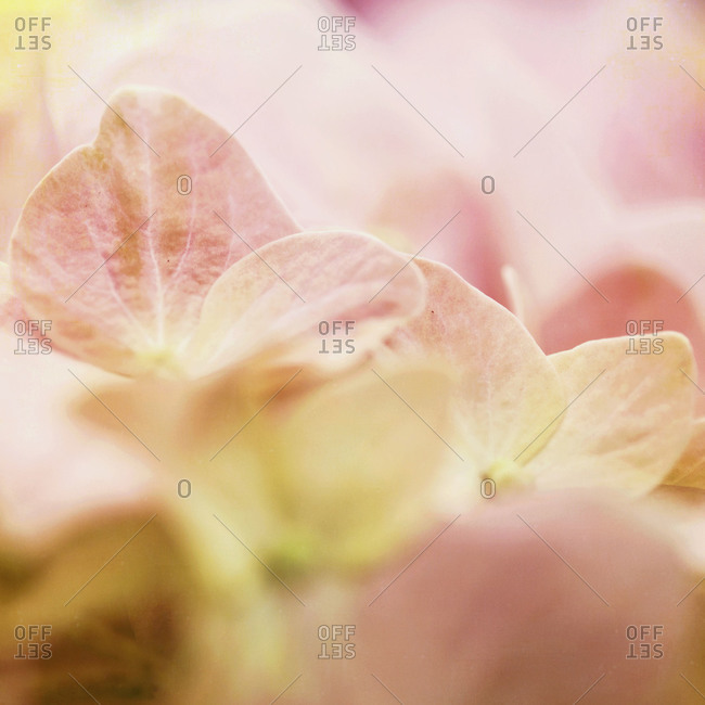 Marco of a pink hydrangea