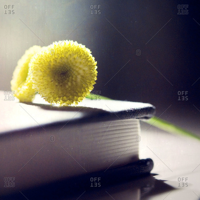 Two button mums on book