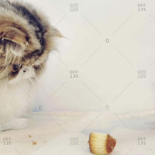 Cat contemplating cupcake
