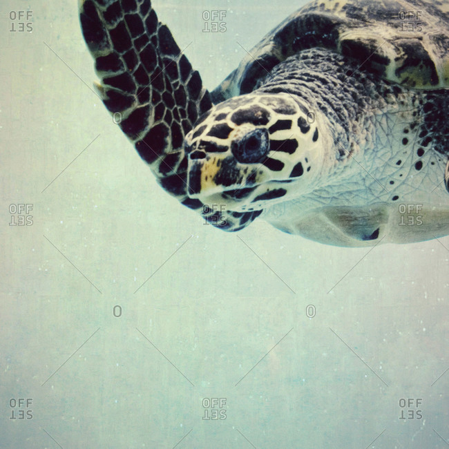 Sea turtle swimming along
