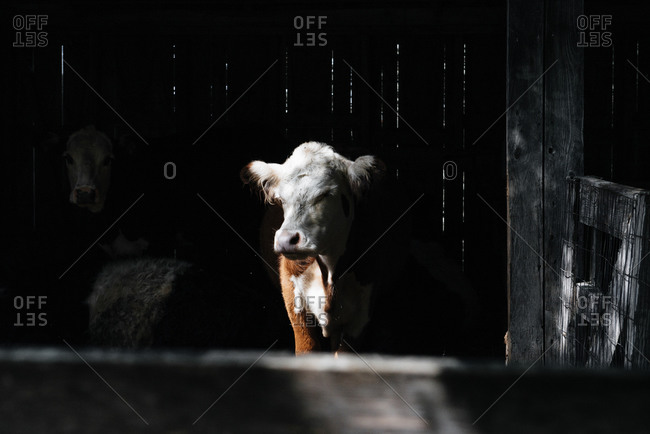 Calf in a barn with mother in the shadows
