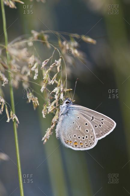Butterfly, Amanda's blue, on grass