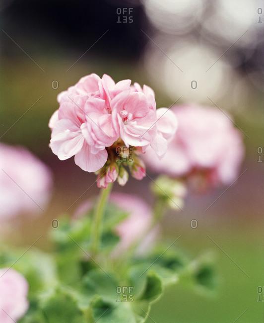 Pink geranium flower, close-up - Offset