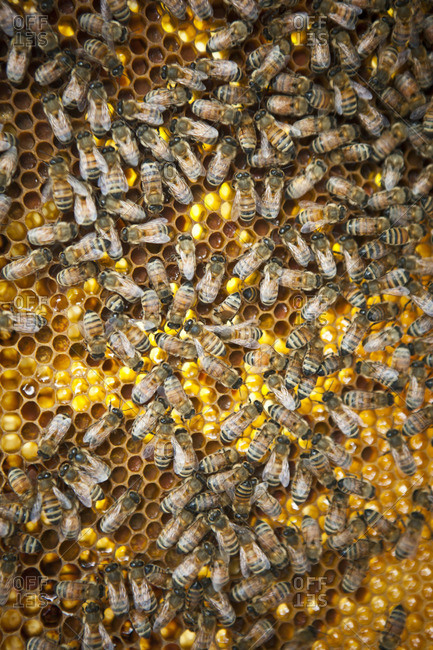 A beehive covered with worker bees