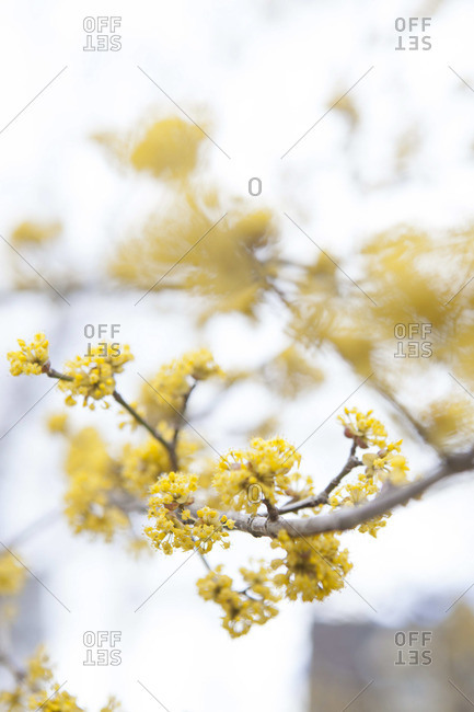 New yellow buds blooming in the springtime