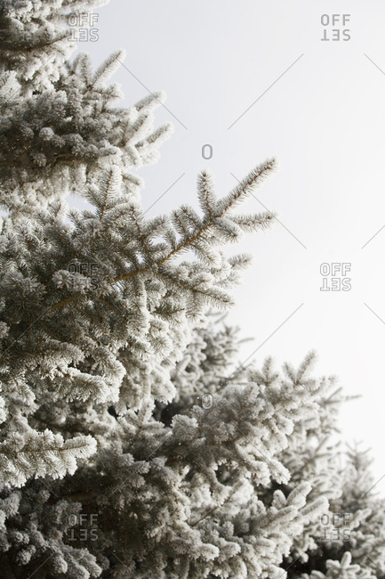 Pine tree in winter against clear sky