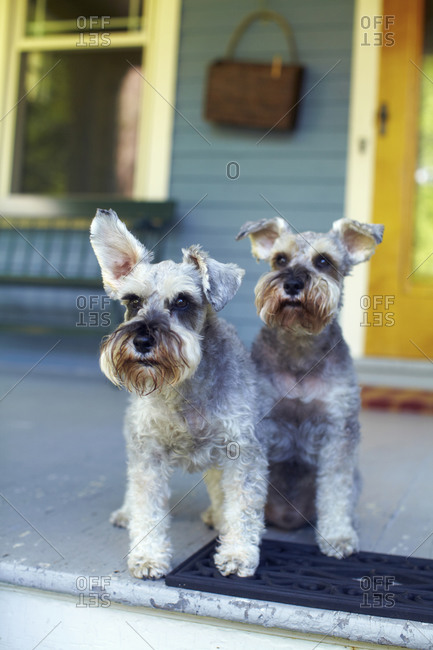 Two miniature schnauzers sitting on porch